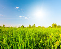 Campo verde sotto cielo blu con il sole Immagine Stock