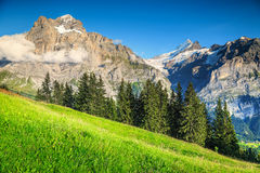 Campo verde spettacolare con le alte montagne nevose, Grindelwald, Svizzera Fotografia Stock Libera da Diritti