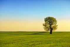 Campo verde y árbol solo Fotografía de archivo
