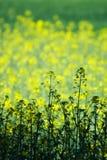 Campo verde y amarillo Imágenes de archivo libres de regalías