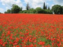 Campo vermelho brilhante das papoilas Imagens de Stock Royalty Free