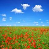 Campo vermelho da papoila Foto de Stock