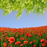 Campo vermelho da papoila Fotografia de Stock Royalty Free