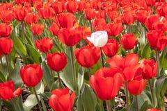 Campo vermelho da tulipa com a uma tulipa branca Foto de Stock