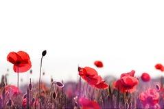 Campo vermelho das flores da papoila na primavera fotografia de stock royalty free