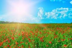 Campo vermelho das papoilas na luz solar brilhante Foto de Stock
