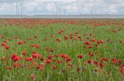 Campo vermelho das papoilas no verão fotos de stock