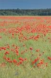 Campo vermelho das papoilas no verão fotos de stock royalty free