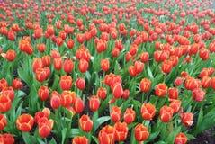 Campo vermelho das tulipas Fotos de Stock