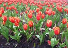 Campo vermelho das tulipas Fotos de Stock Royalty Free