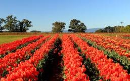 Campo vermelho das tulipas Foto de Stock Royalty Free