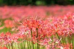 Campo vermelho do lírio do seonunsa de Gochang Fotografia de Stock Royalty Free