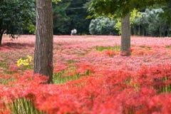 Campo vermelho do lírio do seonunsa de Gochang Foto de Stock