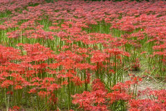 Campo vermelho do lírio do seonunsa de Gochang Imagem de Stock