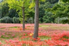 Campo vermelho do lírio do seonunsa de Gochang Imagens de Stock Royalty Free