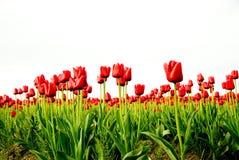 Campo vermelho do Tulip foto de stock royalty free