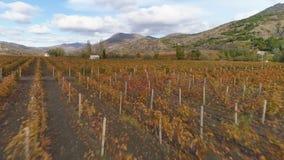 Campo vermelho do vinhedo no outono Período da colheita Silhueta do homem de negócio Cowering video estoque