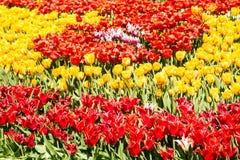 Campo vermelho e amarelo da tulipa Foto de Stock Royalty Free