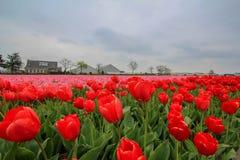 Campo vermelho e cor-de-rosa da tulipa Fotografia de Stock