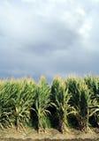 Campo Verticle del maíz Imagenes de archivo