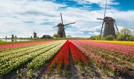 Campo vibrante dei tulipani con i mulini a vento olandesi Immagini Stock