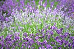 Campo violeta da alfazema com a abelha do blossomsand das flores frescas Fundo obscuro Fotos de Stock