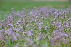 Campo violeta floreciente Imágenes de archivo libres de regalías