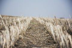 Campo vuoto della soia dopo il raccolto Fotografia Stock