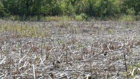 Campo vuoto dopo il raccolto effettuato del girasole archivi video