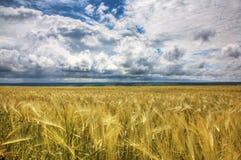 Campo Wheaten Fotos de Stock Royalty Free