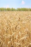 Campo Wheaten Immagini Stock Libere da Diritti