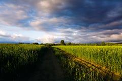 campo wheaten Immagine Stock Libera da Diritti