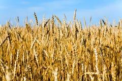 campo wheaten Immagine Stock
