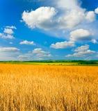 Campo Wheaten Imagens de Stock Royalty Free