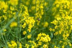 Campo y abeja de la rabina que vuelan sobre el flor Imágenes de archivo libres de regalías