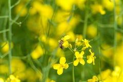 Campo y abeja de la rabina que vuelan sobre el flor Foto macra con el fondo borroso Imágenes de archivo libres de regalías