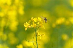 Campo y abeja de la rabina que vuelan sobre el flor Foto macra con el fondo borroso Imagen de archivo libre de regalías