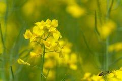 Campo y abeja de la rabina que vuelan sobre el flor Foto macra con el fondo borroso Fotos de archivo