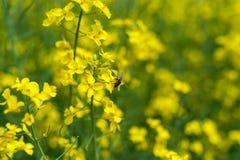 Campo y abeja de la rabina que vuelan sobre el flor y que hacen la miel Fotos de archivo