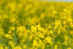 Campo y abeja uno de la rabina el flor Fondo borroso Macro Imágenes de archivo libres de regalías