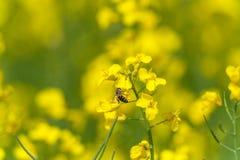 Campo y abeja uno de la rabina el flor Fondo borroso Macro Fotos de archivo