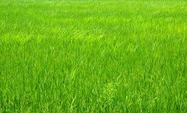 Campo y arroz verdes Foto de archivo