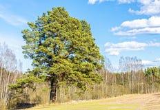 Campo y bosque rurales con el pino solo Fotos de archivo libres de regalías