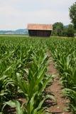 Campo y casa jovenes de maíz Imágenes de archivo libres de regalías