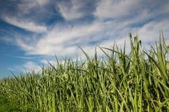 Campo y cielo de maíz Imagen de archivo libre de regalías