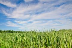 Campo y cielo de maíz Fotografía de archivo