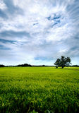 Campo y cielo del arroz Fotos de archivo libres de regalías