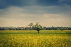 Campo y cielo verdes del arroz foto de archivo