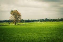 Campo y cielo verdes del arroz fotos de archivo