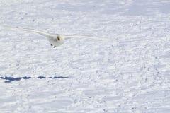 Campo y cisnes de nieve en invierno japonés Imagenes de archivo